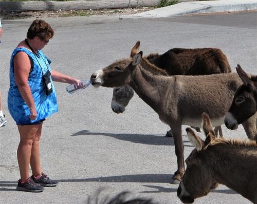 Donkey drinking